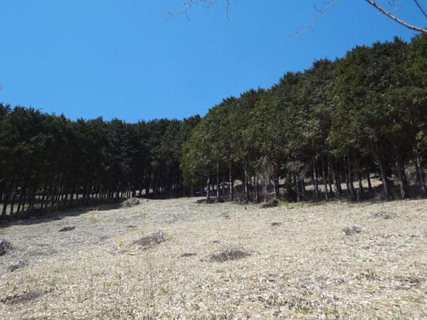 suginoki2.jpg