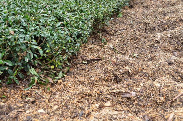 イノシシが掘り返した茶園
