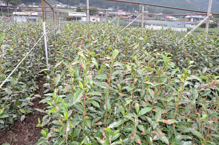 自然仕立て栽培茶