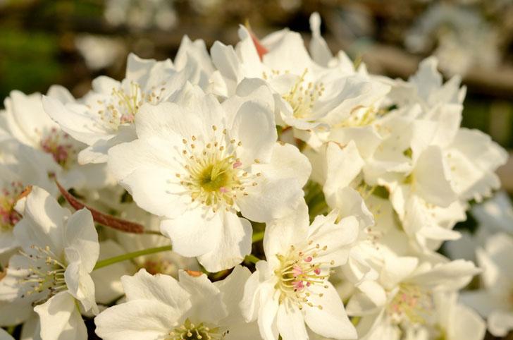 志太梨の花